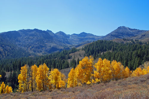 aspen trees in fall colors at Sardine Meadow on Sonora Pass